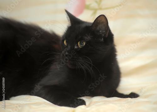 Fotografia  graceful black short-haired home cat