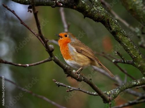 Fototapety, obrazy: Singing Robin