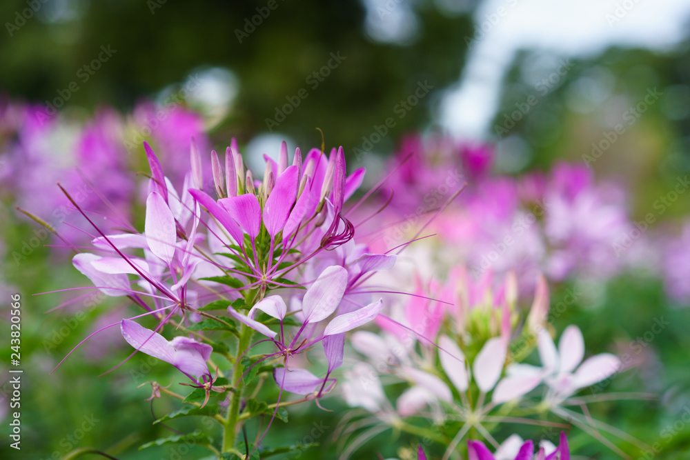 Pink And White Spider flower(Cleome spinosa) in the garden