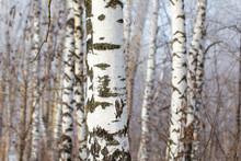 White Bark On A Birch Tree As ...
