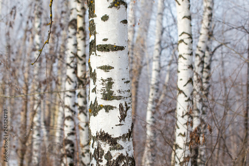 Photo White bark on a birch tree as background