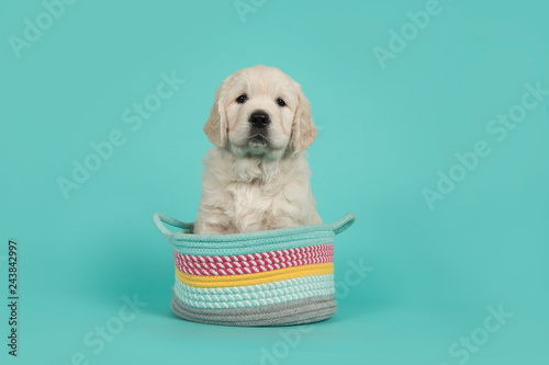 Obraz Cute golden retriever puppy looking at the camera sitting in a colorful basket on a turquoise blue background - fototapety do salonu