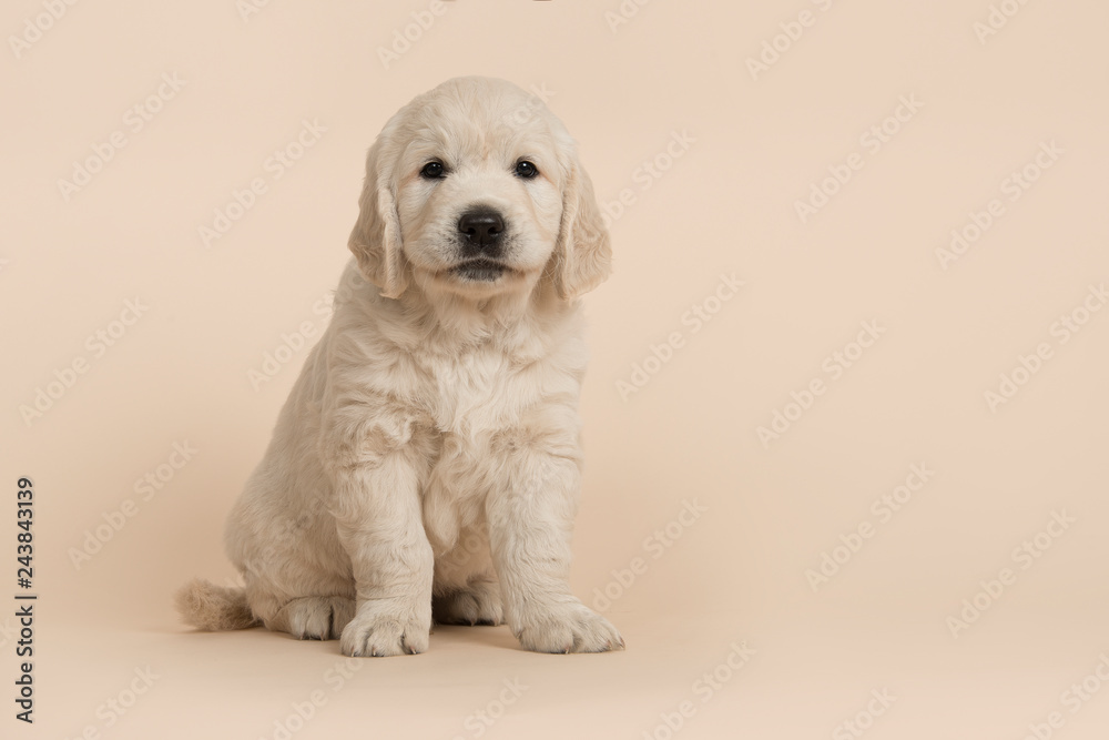Fototapety, obrazy: Cute golden retriever puppy looking at the camera sitting on a sand colored background