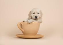Cute Golden Retriever Puppy Si...