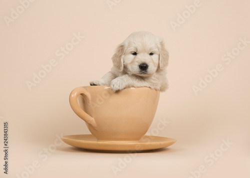 Stampa su Tela Cute golden retriever puppy sitting in a cup and saucer on a sand colored backgr