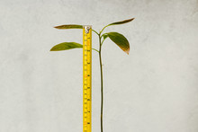 Avocado Plant With Tall Stem A...