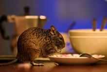 Close-up, Rodent Degu Walks On...
