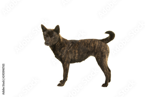 Photo  Female Kai Ken dog the national japanese breed standing isolated on a white back