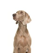 Portrait Of A Weimaraner Dog S...