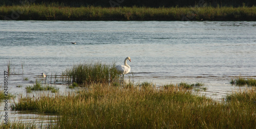Foto auf AluDibond Schwan swan at river