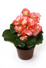 Pink Begonia Flower In Flowerp...