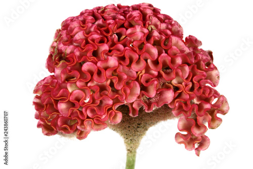 Fotografie, Obraz Red cockscomb flower on white background.