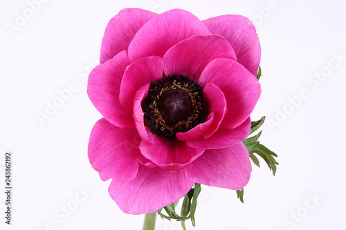 Canvas Print Purple anemone flower on white background