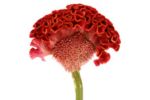 Red Cockscomb Flower On White Background.