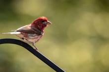Red Head Bird On Black Pole