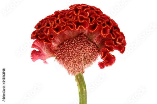 Fototapeta Red cockscomb flower on white background.