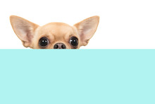Cute Chihuahua Dog Peaking Over The Edge Of A Blue And White Checkered Box