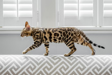 A Cute Bengal Kitten Walking Along The Back Of A Modern Sofa With One Paw Off The Ground And Slated Window Shutters Behind It.