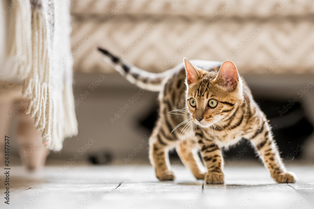 Fototapety, obrazy: A Bengal kitten standing in a living room ready to pounce at something under a frilled sofa