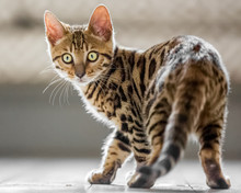 A Cute Bengal Kitten Standing On A Wooden Floor From Behind Looking Over Its Shoulder To Something Off Camera