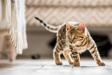 A Bengal Kitten Standing In A Living Room Ready To Pounce At Something Under A Frilled Sofa
