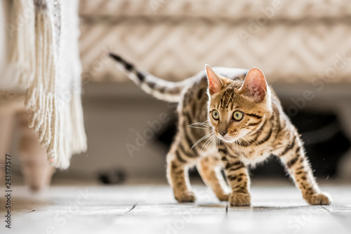 Keuken foto achterwand Kat A Bengal kitten standing in a living room ready to pounce at something under a frilled sofa