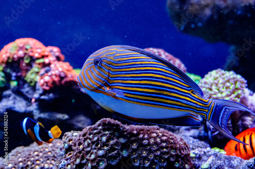 Fotomural  Fish Striped Surgeon Acanthurus lineatus
