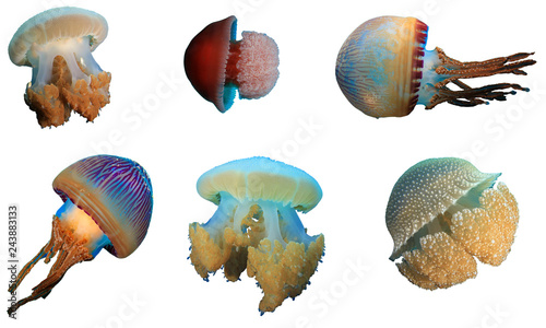 Fotografía Jellyfish jelly fish isolated on white background