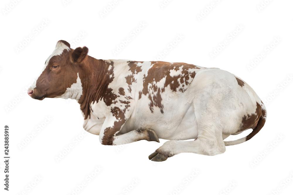 Fototapeta lying cow isolated on white