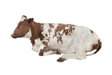 Lying Cow Isolated On White