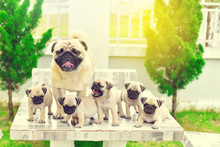 Cute Puppies Brown Pug With Th...