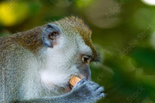 Fotografie, Obraz  Crab-eating macaque (Macaca fascicularis)