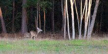 Doe And Offspring Near A Fores...