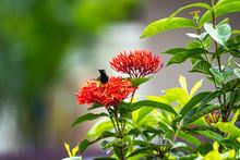 Little Tiny Bird Eating Carpel Of Red Spike Flower.