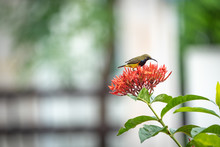 Small Bird Trying To Test Flower Juice At The Red Spike Flower Bouquet.