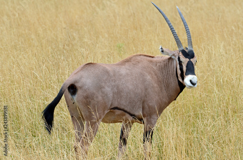 Fotografie, Obraz  Close up of a fringe-eared oryx (Oryx beisa callotis) with long black tasseled tail, muscular fawn coloured body, black bands, white muzzle and long curved horns standing in field of dry gold grass