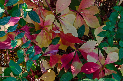Fotografía  Natural background from autumnal foliage of red, yellow, green, rose, white leav
