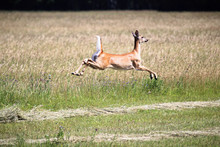 A White-tailed Deer In Mid Air As It Runs Away