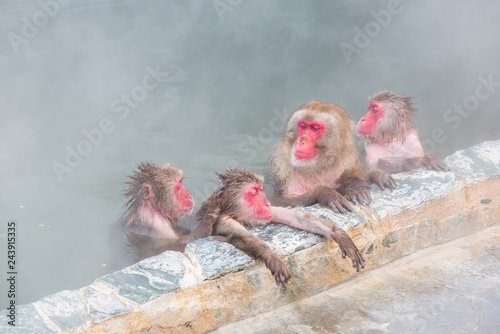 Fotografie, Obraz  spa Japanese snow monkey onsen (macaques) in winter