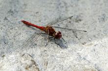Big Dragonfly. Red Torso, Huge...