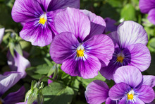 Pansy Flowers Blooming In The Garden.