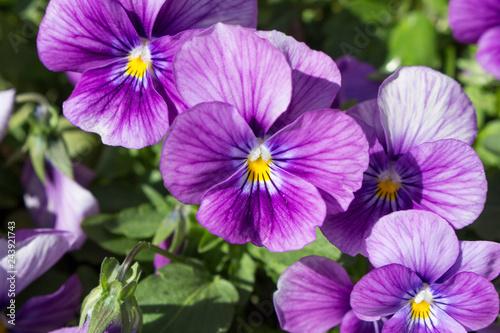 Papiers peints Pansies Pansy Flowers Blooming in the Garden.