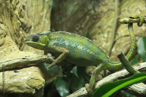 Recess Fitting Chameleon Green lizard chameleon sitting in trees and stones.