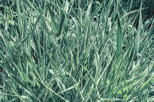 Obraz na plátně  Decorative sedge, green with white stripes, close-up.