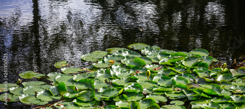 Photo sur Aluminium Nénuphars Aquatic garden with fresh water lilies or lotus on pond. Nature background, copyspace, banner, wallpaper.