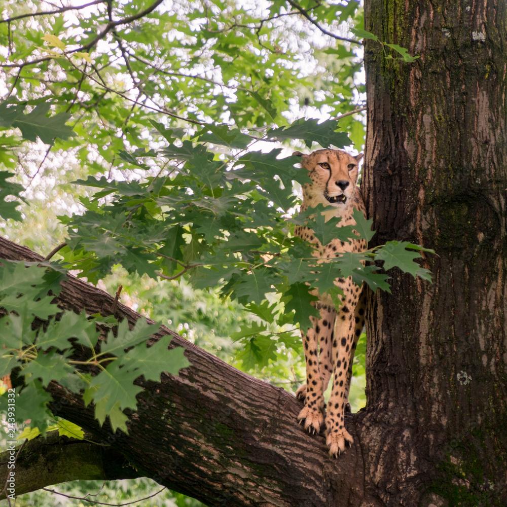 Ein Gepard auf einem Baum