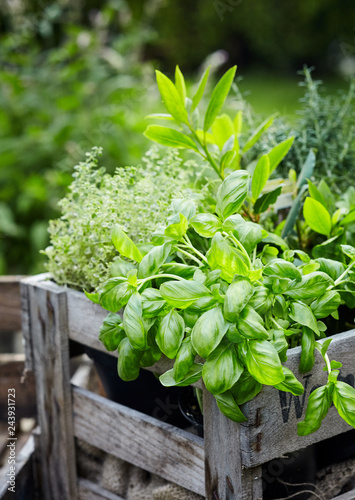 Papiers peints Jardin Assorted fresh herbs growing in pots