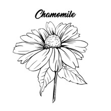 Chamomile Flower Hand Drawn Illustration. Tea Herbs Ingredient. Daisy On Scape Packaging, Advertising, Cover And Logo Design Element. Camomile Flower Herbal Tea Concept. Isolated Vector Drawing