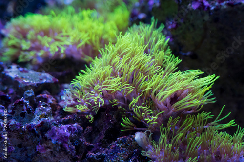 Fototapeta premium Żółte korale w akwarium