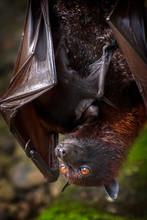 Fruit Bat Found In Bali, Indon...
